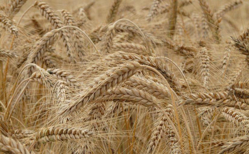Das Getreide-Projekt der Klasse 4c
